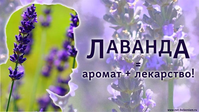 Лаванда характеризуется не только ароматом, но и лечебными свойствами!